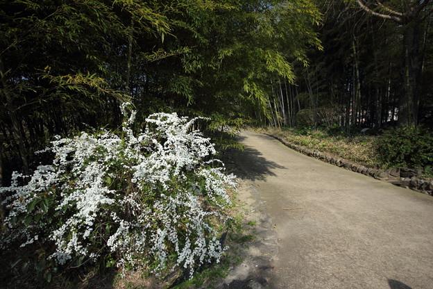 雪柳・・竹林園