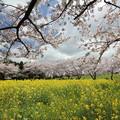 中尾山の桜・・菜の花はここだけ