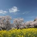 中尾山の桜と菜の花