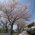 桜満開・・水俣川川岸