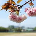 Photos: 八重桜満開