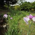 花菖蒲・・竹林園