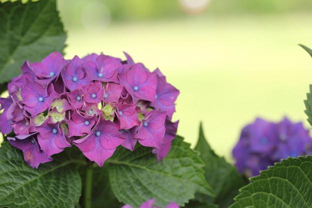 紫陽花・・エコパーク