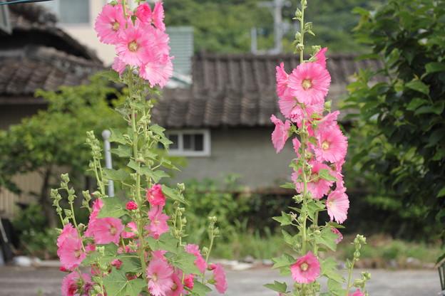 立葵 (たちあおい)