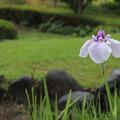 雨の中花菖蒲・・竹林園