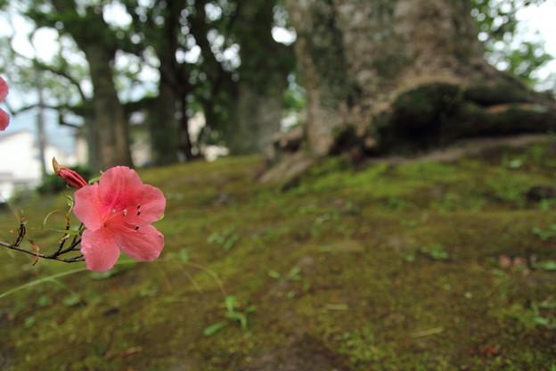 皐月がぽつんと・・諏訪神社