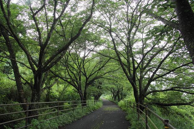 緑が鮮やか・・遊歩道