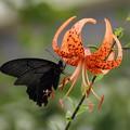 鬼百合と蝶