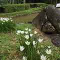 玉簾 (たますだれ)・・竹林園