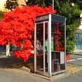 写真: ツツジと電話ボックス