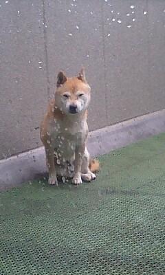 柴犬かいくん雨に打たれて