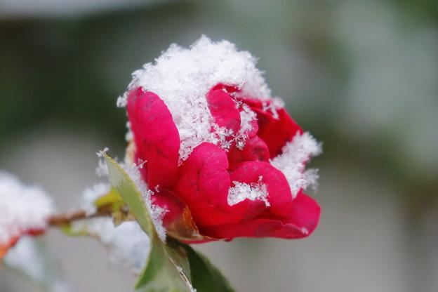 写真: 雪と華