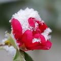 Photos: 雪と華