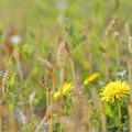 写真: 春はらっぱ