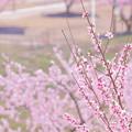 Photos: 桃畑の春