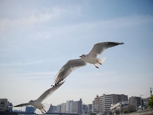 180131_横浜市鶴見区・鶴見川_飛翔<ユリカモメ>_G180131N6509_MZD12ZP_X8Ss