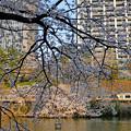 写真: ビルと桜
