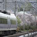 桜の花の万雷の拍手