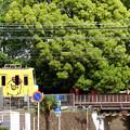 写真: キイロイトリ、神社に参る