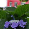 曇りの日の紫陽花