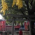 Photos: 黄葉真っ盛りの頃