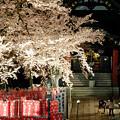愛犬と夜桜