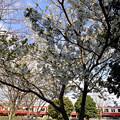 白く桜と赤い電車