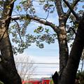 白い桜と赤い電車