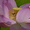 Photos: ハチさんもがんばっています。 _7127072