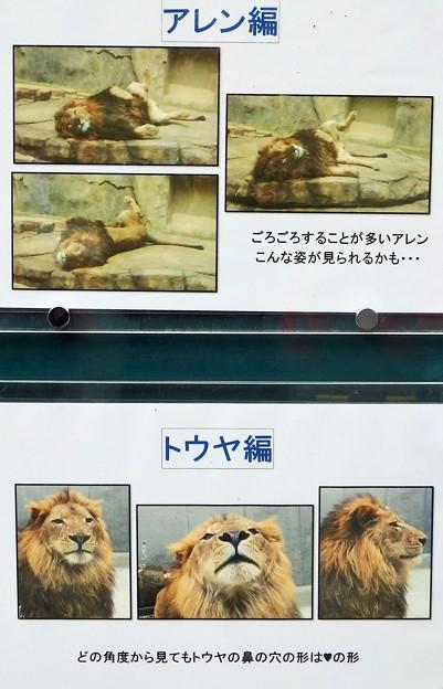千葉市動物公園に来たライオン