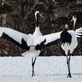 丹頂鶴の舞
