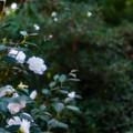 写真: 白色 椿