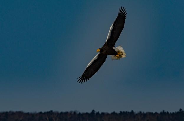 写真: オオワシの飛翔