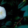 写真: 白椿