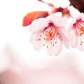 写真: 桜姉妹!!!