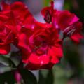 """写真: 紅の薔薇"""""""