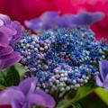 ー我が家の紫陽花ー