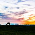 写真: ー夕暮れの放牧ー