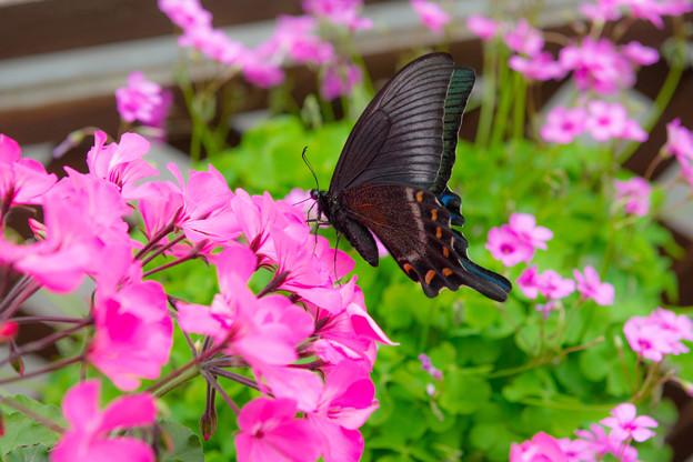 Photos: ー花とアゲハ蝶ー