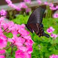 写真: ー花とアゲハ蝶ー