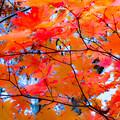 写真: ー燃える紅葉ー