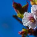 ー遅咲きの桜ー