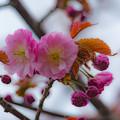 Photos: ー遅咲きの桜ー