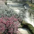 写真: 桃と桜の散歩道