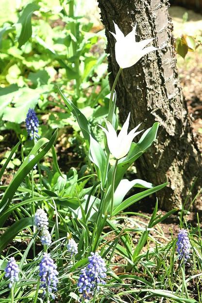 写真: お庭のチューリップ