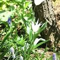 お庭のチューリップ