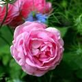 薔薇屋敷の薔薇