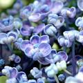 謎ではない紫陽花