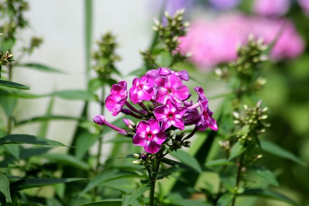 毎年咲く花