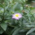 写真: 小菊が咲き始めました